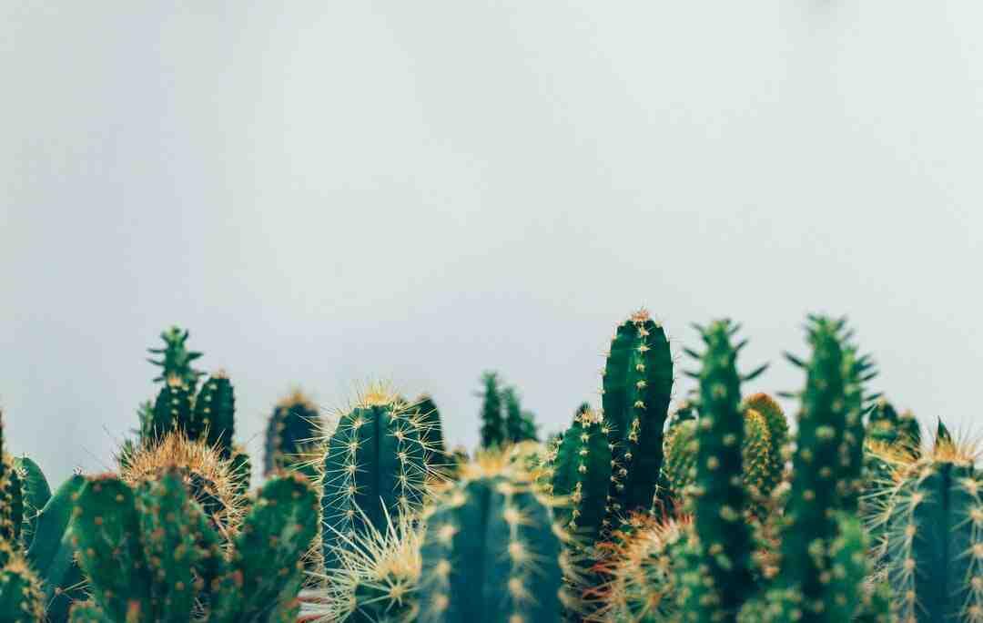 Comment arroser un petit cactus ?