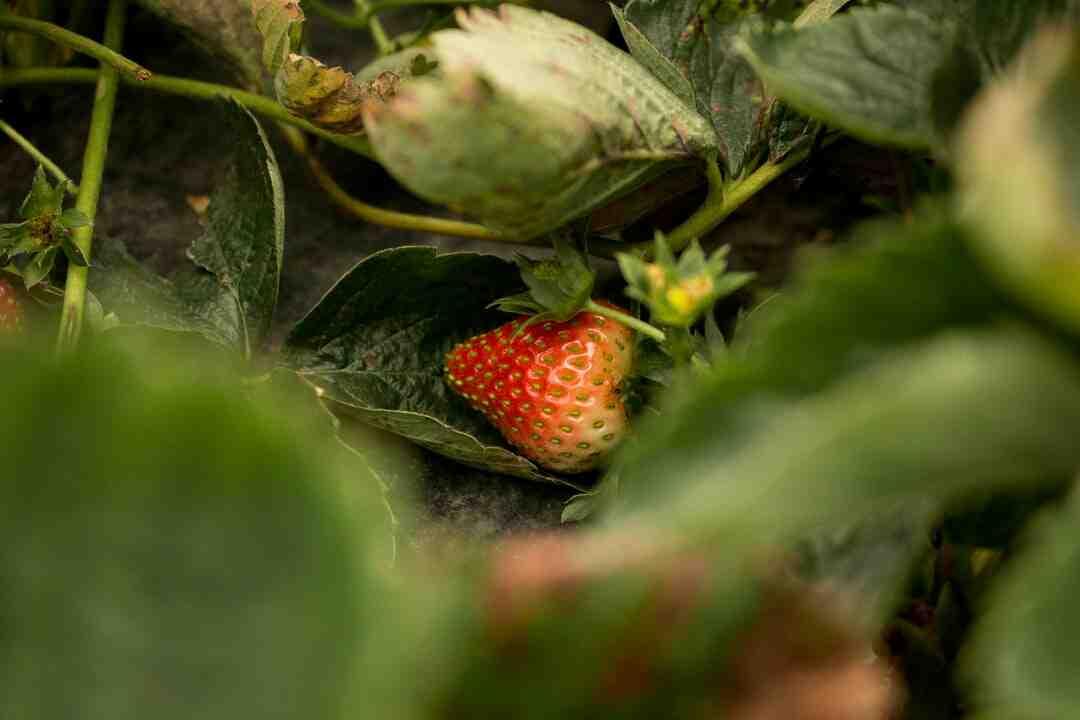 Quel terreau pour fraisier hors sol ?