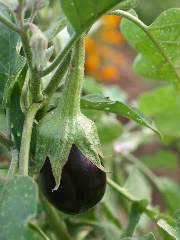 Comment planter aubergine