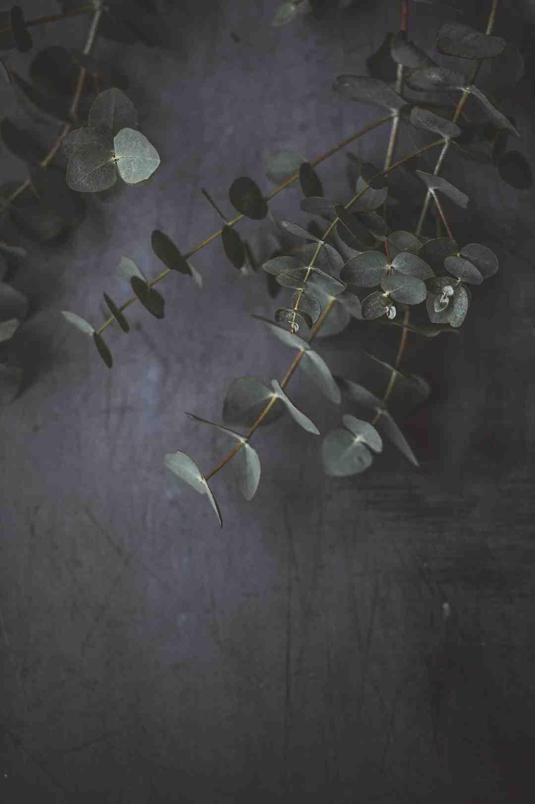 Comment planter un eucalyptus