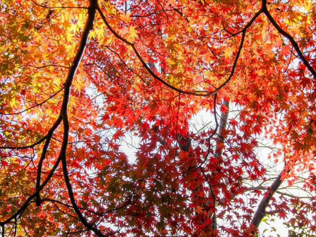 Quand planter un érable du Japon ?