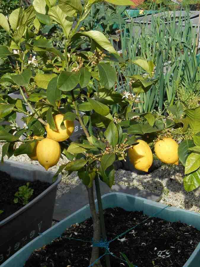 Quelle terre pour rempoter un citrus limon ?
