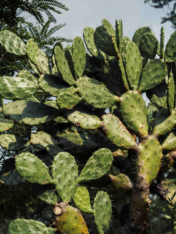 Comment faire mûrir les figues ?