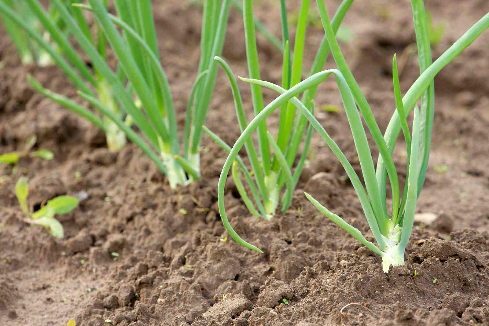 Comment planter oignon