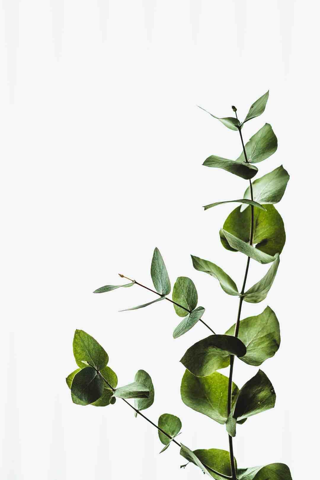 Comment tailler un eucalyptus gunnii